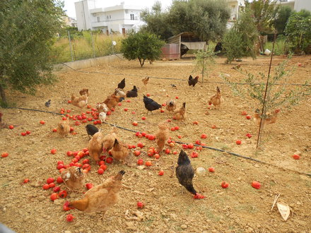 tomaten-und-huehner