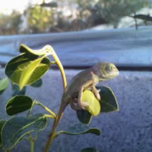 chameleon-new-born-02
