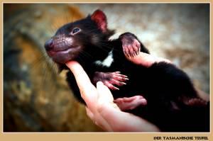 tasmanischer-teufel