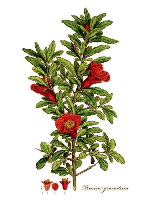 Flora Graeca Granatapfel