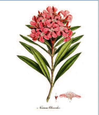 Flora Graeca Nerium Oleander