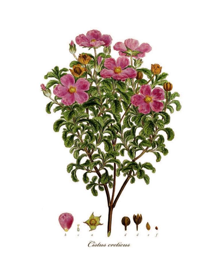 Flora Graeca Zistrose