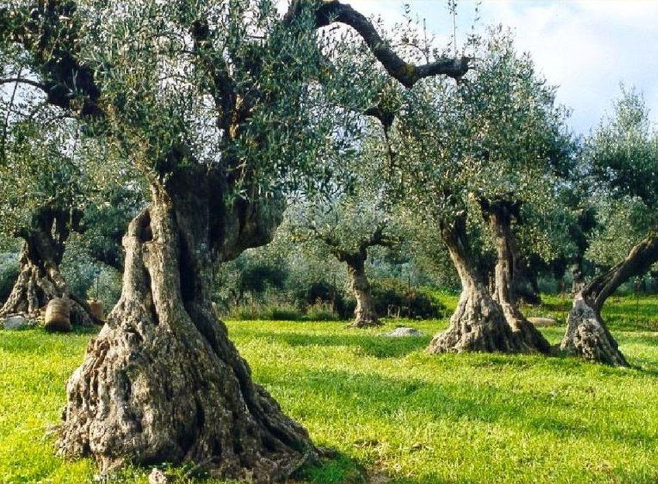 Olivenbaum2