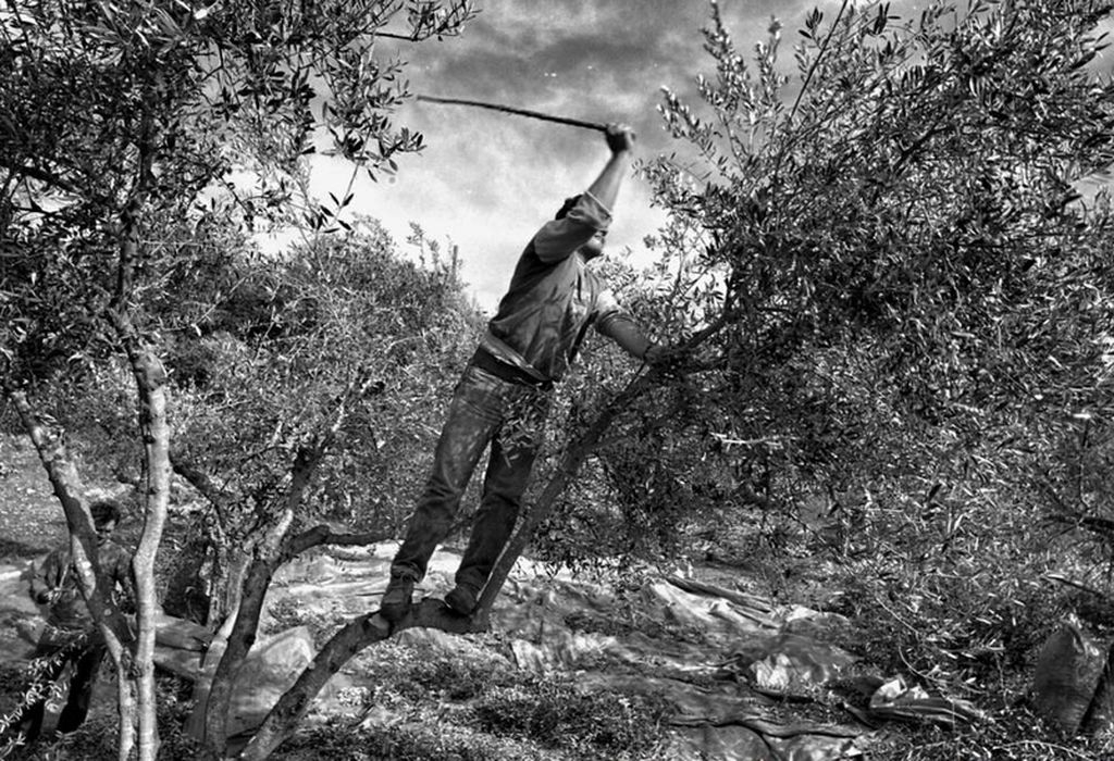 Olivenbaum4