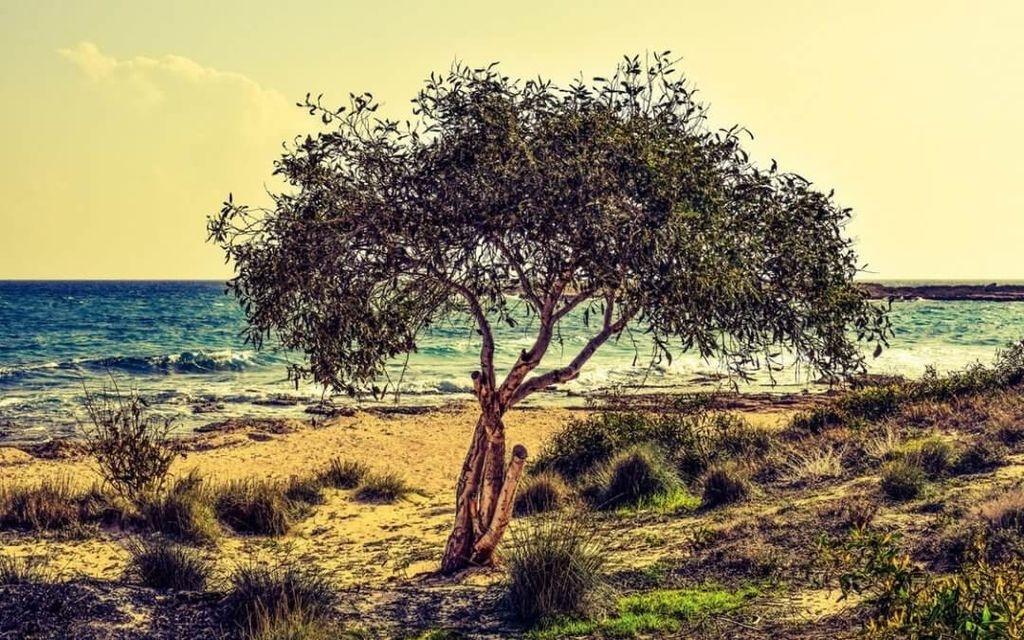 Olivenbaum6
