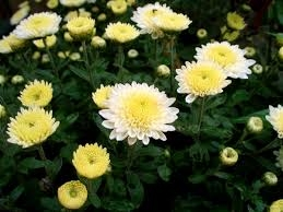 Chrysanthemen 1