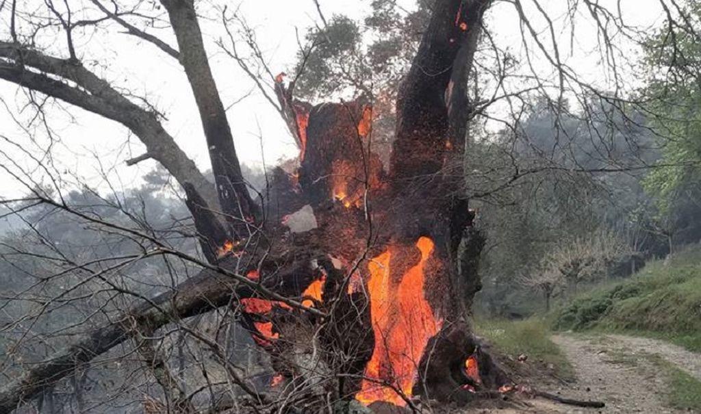 Feuer Olivenbaum