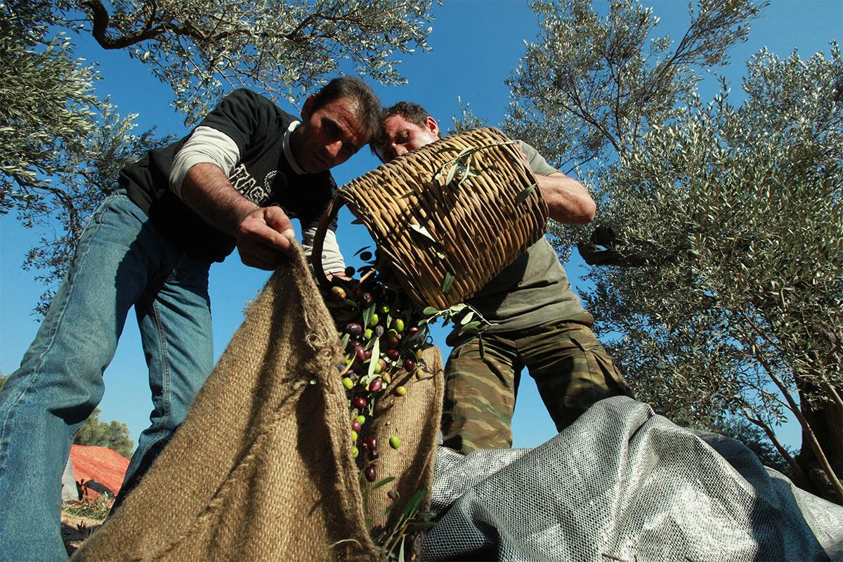 oliven-mann
