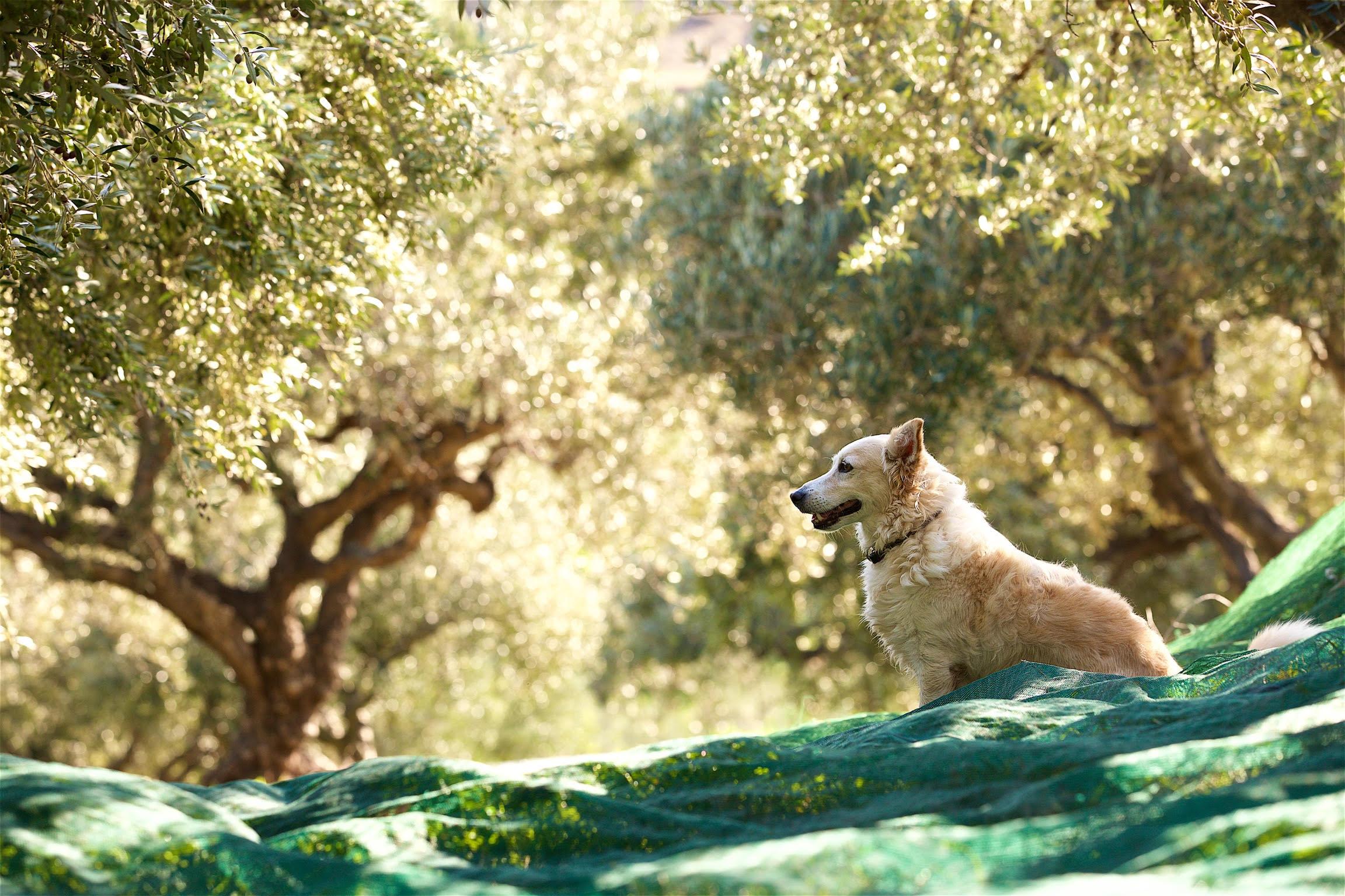 yogi-mitso-olive