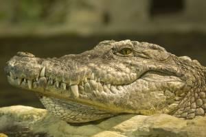 krokodil-kreta