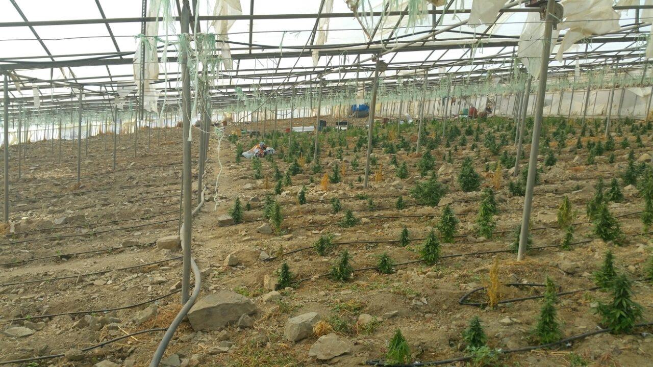 Cannabis Pflanzen