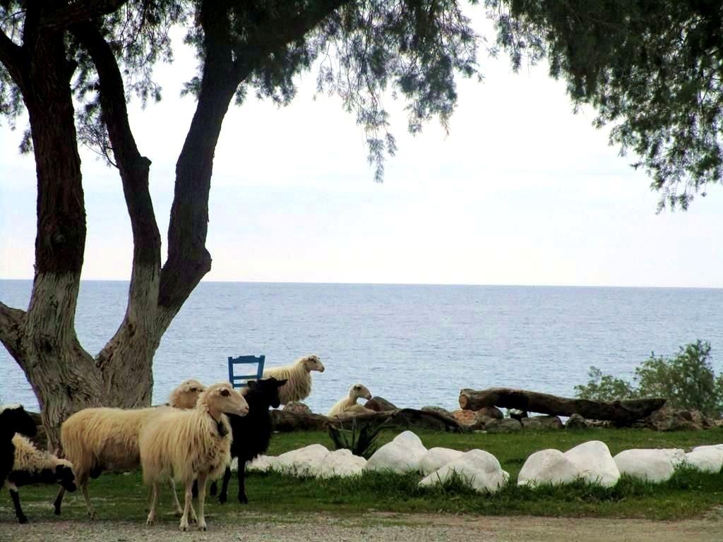 Camping Schafe