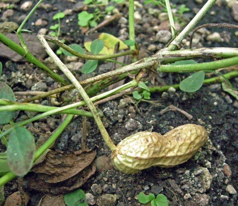Erdnuss Strauch