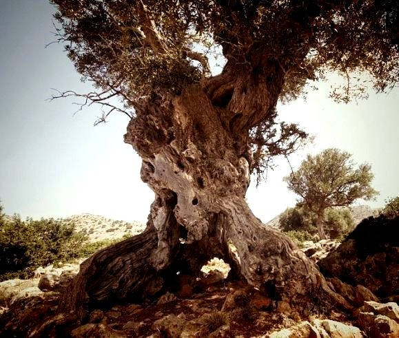 Olivenbaum Lassithi