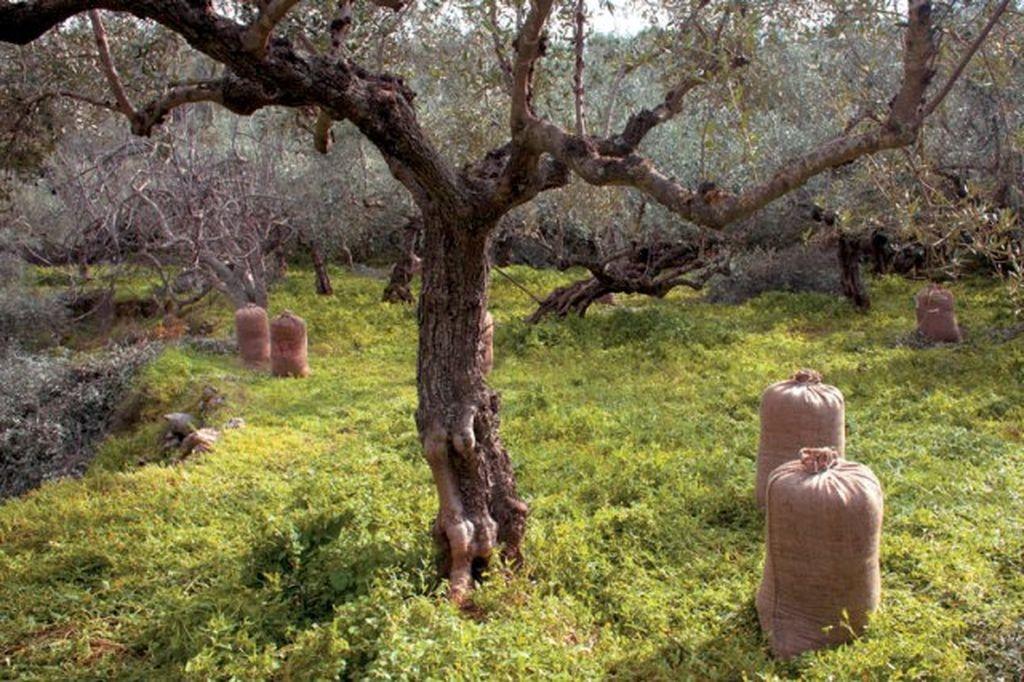 Olivenbaum7