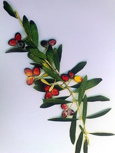 Olivenölzweig