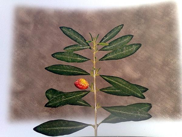 Oliveblaettertee