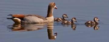 Nilgaensefamilie schwimmend